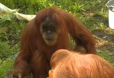 Суматранският орангутан от женски пол Мерах Кадър: youtube/KSDK News