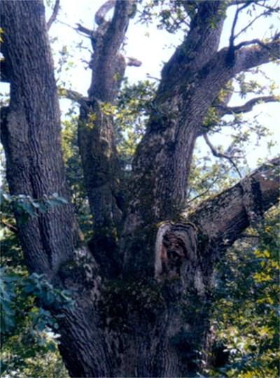 Дъбът-гигант с откъртения клон на гробището в с. Мърчаево.