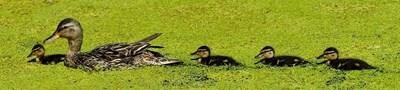 Дива патица с малките си СНИМКА: Пиксабей