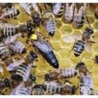 Пчелите не трябва да се сменят всички наведнъж, а постепенно, за да се запази контактът им с мйката