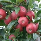 Резитба на ябълка