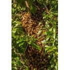 Когато в кошерите бързо се натрупат голям брой млади пчели кърмачки, неангажирани със свойствена за тях работа поради малкото количество незапечатано пило, инстинктът за роене започва и се усилва .