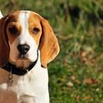 Породата бигъл оглави класацията на кучетата с най-добро здраве