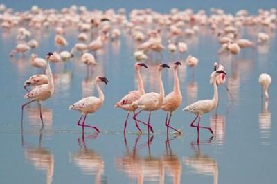Красивите ята розови фламинги