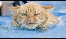 Добри плувци ли са котките?