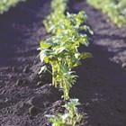 Ранните картофи да се загърлят