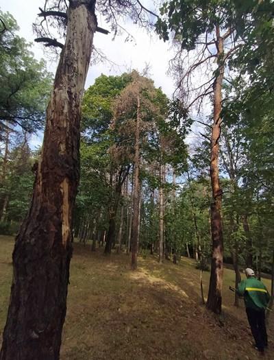 Мъртвите дървета се секат контролирано
