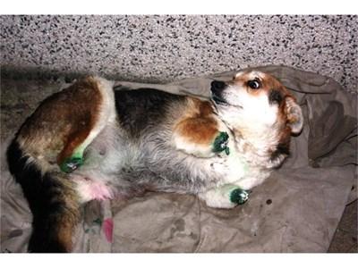 """Кучето Мима, на което изрод отсече и четирите лапи.  СНИМКА: """"24 ЧАСА"""""""