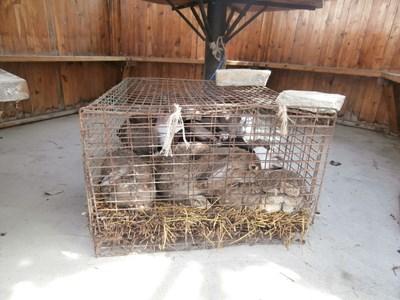 Похитените зайци бяха открити в добро състояние и върнати на 68-годишната им собственичка. СНИМКА: Ваньо Стоилов