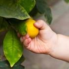 Лимонът е добър за бебета, които са злояди