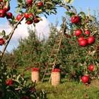 Ябълката – не само вкусна, но и лечебна