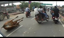 Моторист блъска крава