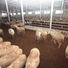 BG фермери разпродават животните си