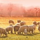 Всяка пролет и есен ваксинайте овцете, козите и техните приплоди, срещу болестта агалаксия