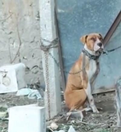 Ден след смъртта  на детето кучето убиец все още  стоеше вързано  в двора.