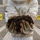 На пчеларите в стнарите от ЕС им е трудно да издържат на силната конкуренция на пазара на мед, да запазят не само рентабилността на пчеларските си ферми, но и да защитят пчелните семейства от реалните заплахи за здравето на пчелите.