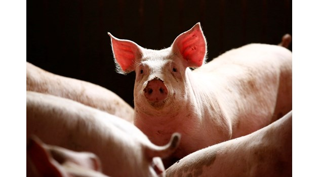 100% по-скъпо живо тегло на свинското от стопаните, които убиват животните