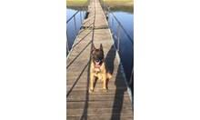 Почина кучето Вихрен, служило 12 г. в  ГДБОП за лов на наркотици