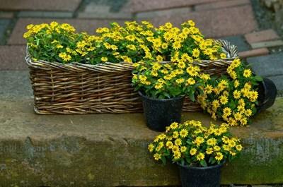 Градина: Как да се грижим за цветята в жегите