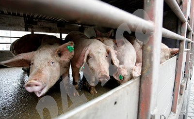 Стопаните ще получават средства, за да осигурят повече площ и изкуствено осветление за свинете. СНИМКА: 24 часа