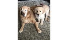 Кученце стана водач на сляп голдън ретривър
