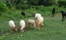 Определиха помощите за овце и кози-майки, вижте ги