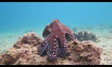 Октопод се маскира като корал