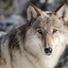 Донесоха жив вълк на мач в Черна гора (Видео)