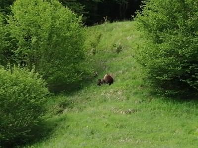 В Могилица мечката с двете малки слиза до къщите без да се плаши.