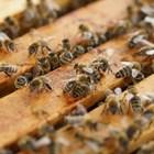 Колкото и остро да протича заболяването аскосфероза в едно пчелно семейство, винаги между умрелите и болните ларви има и живи (за разлика от аспергилозата).