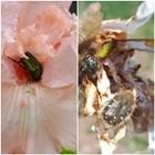 Бръмбари нападат цветовете