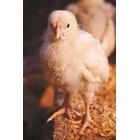 Пилетата бройлери имат бърз растеж