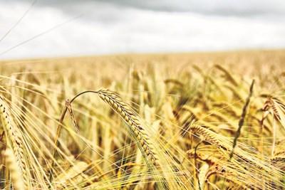 Ожънати са и 725 450 дка с пшеница при среден добив от около 606 кг от дка.