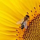 Пчелите стават основен фактор за производството на храна, въпреки че струват милиарди на фермерите по света, сочат проучванията.