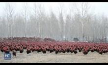 Китайски фермер и неговите 70 000 кокошки