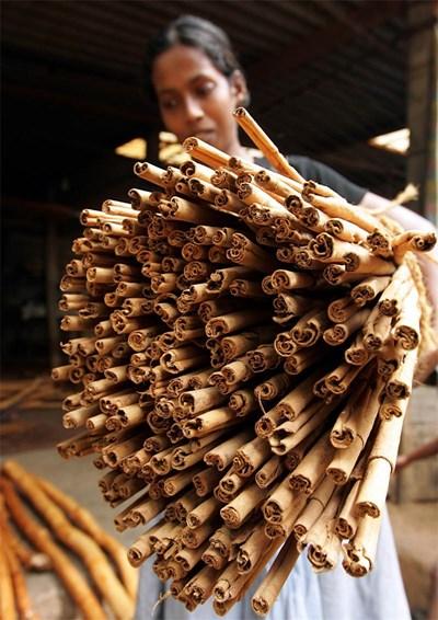 Момиче носи изсъхнали и готови за нарязване кори от истинска канела, отгледана в Шри Ланка. СНИМКИ: РОЙТЕРС