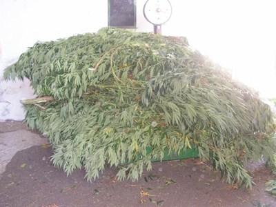 Криминалисти на Разград откриха засят с над 160 кг марихуана терен. СНИМКА: МВР