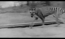 Тасманийският тигър, изчезнал през 1936 г., все по-често е забелязван от туристи на острова (Видео)