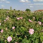 Преработвателите на рози недоволни от субсидията за тях