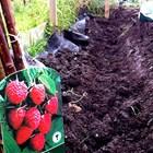 Засаждане на ягодоплодни видове