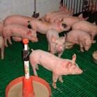 Какво показва, че нещо не е наред с храненето на отбитите прасета?
