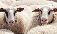 Отложиха дело на стопани на овце от Болярово срещу областната дирекция по безопасност на храните