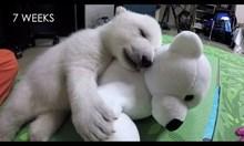 Порастването на една полярна мечка