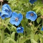 Тенденции 2020в градината и набалкона: код синьо