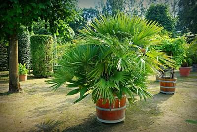 Градина: Как да предпазим палмите от измръзване