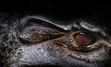 Тайната на крокодилската имунна система. Може ли кръвта от влечугото да срази рака?