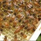 Имайте предвид, че по-гъстият сироп изисква за разграждането голяма загуба на енергия за пчелите!