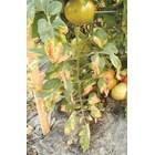 Вертицилиумът напада основните зеленчуци