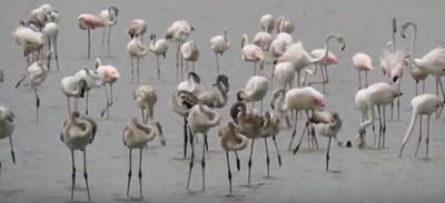 Експерт: Розовото фламинго вече не е необичайна гледка в България