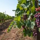 От 21 юли започват плащанията за застраховане на реколтата от винено грозде
